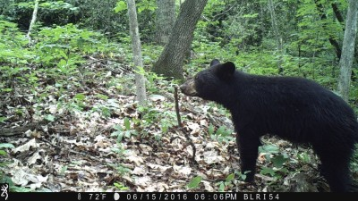 Remote cameras captured an image of a bear along the Blue Ridge Parkway.