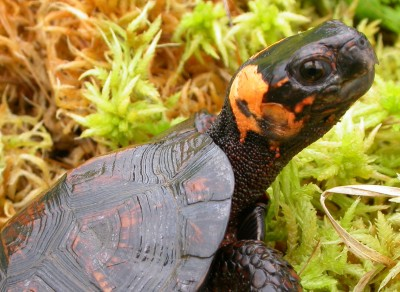 Bog turtles are elusive creatures on the Blue Ridge Parkway lands.