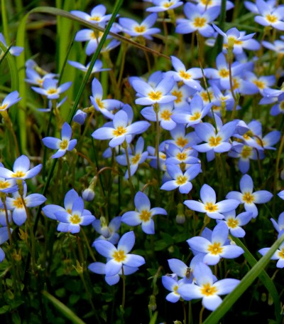 Small, pale blue blooms of the prostrate bluet