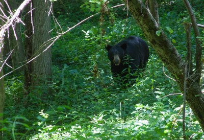 Bear on the Blue Ridge Parkway
